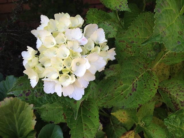 White Hygrandea (Hydrangeaceae), Jersey Street