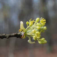 Ozarks Flowering Tree: Sassafras