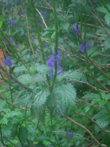 NTU紫色花2