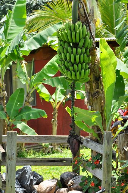 bananas + fence