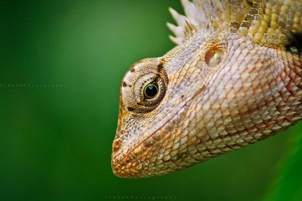 Garden lizard portrait