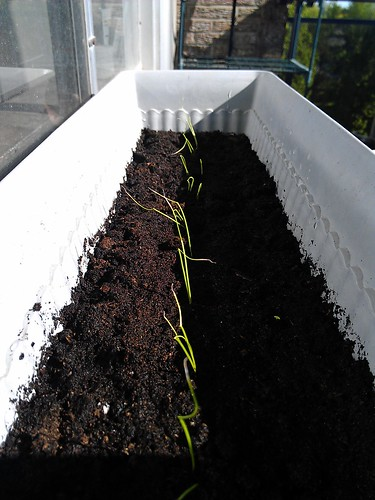 Onions are doing Amazing