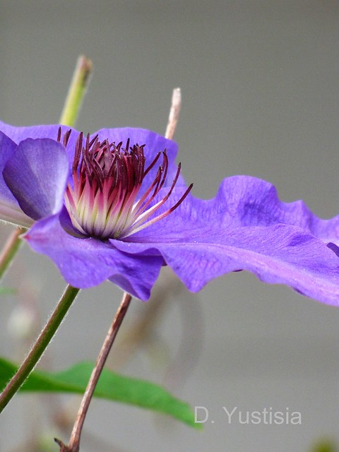Guiding Star Clematis
