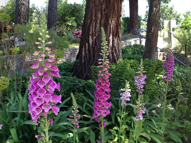 Foxgloves (Digitalis purpurea, Scrophulariaceae), Gundlach Bundschu Winery