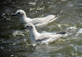Bonaparte's Gulls on the Raritan River, Franklin Township, NJ, April 13, 2012
