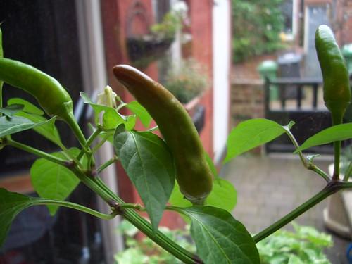 Our Super Chile Plant