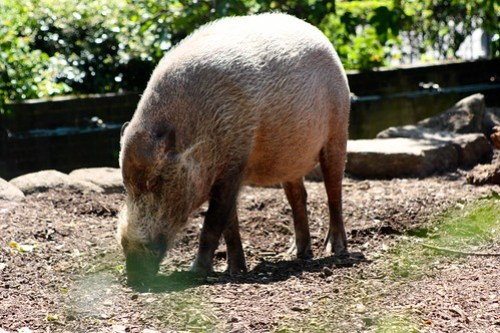 Hairy Pig