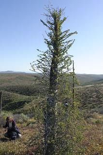 柱狀福桂花(Fouquieria columnaris)