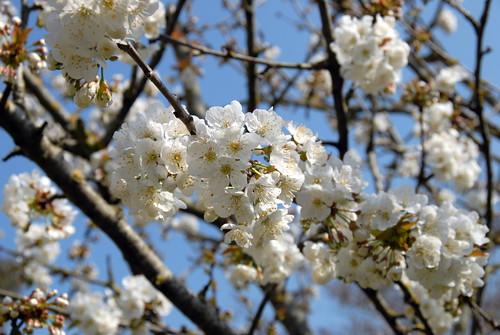 Arbres en fleurs HD-014