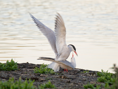 Common Terns-mating