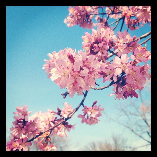Cherry tree in bloom. so beautiful. #signsofspring