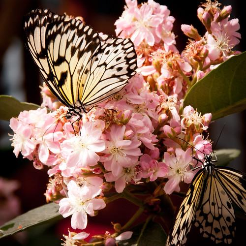 Rice paper butterflies