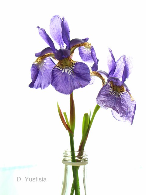 Irises in A Bottle