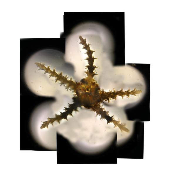 Foldscope: Composite image of starfish