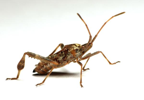 Western Conifer Seed Bug, Leptoglossus occidentalis