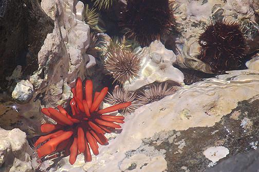 three urchin types