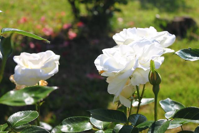 Rosas #Photography #Foto 36
