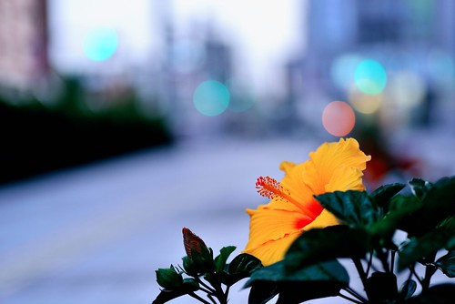 Hibiscus at Dusk by hidesax