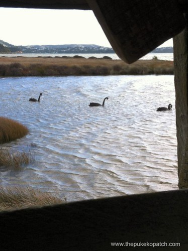 Swans swimming by
