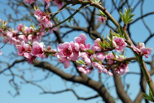 Arbres en fleurs HD-002