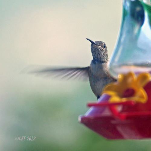 Hummingbird Peek-a-boo