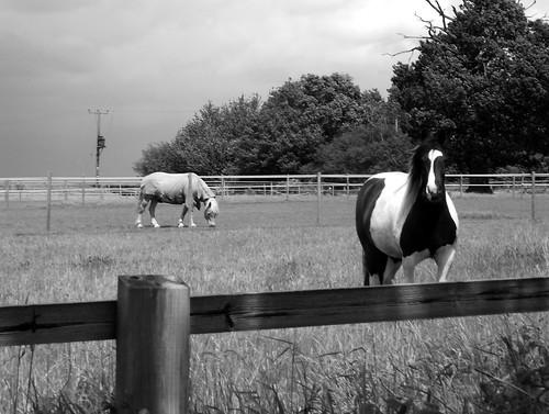 Horses in B W