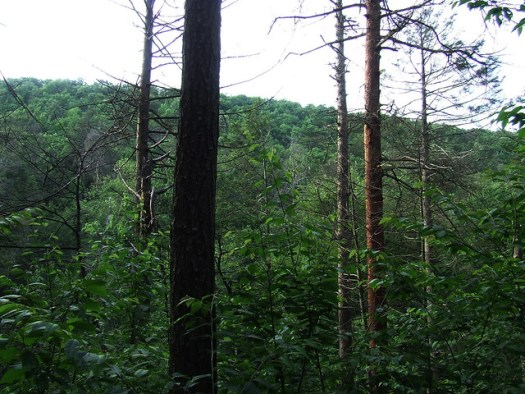 forest succession to yellow birch
