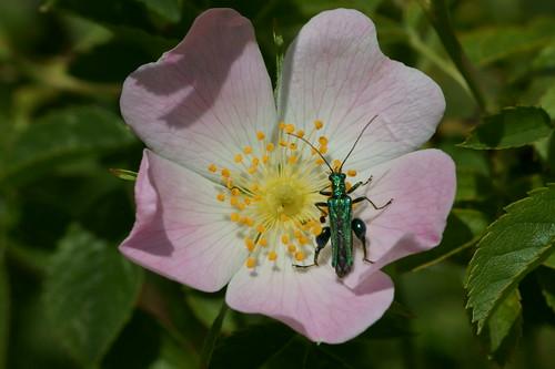 Oedemera nobilis (m)