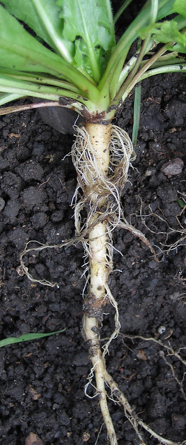 Tap roots of a wild Dandelion Taraxacum officinale agg  Flickr  Photo Sharing
