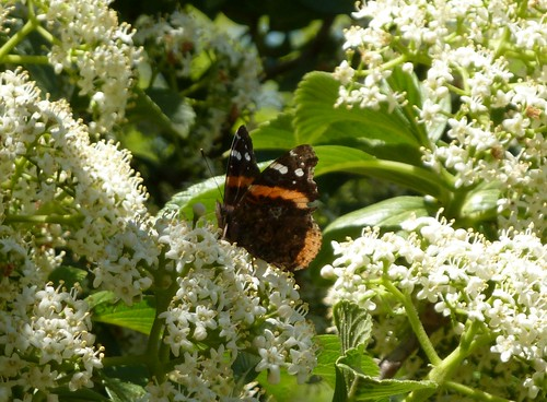 Butterfly on flowering shrub
