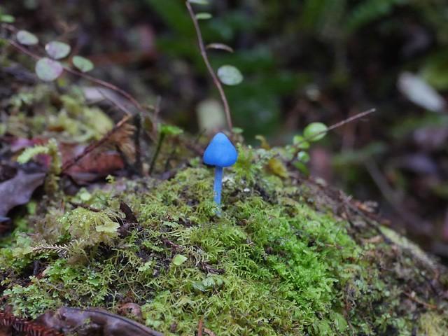 Blue Sky mushroom (Entoloma hochstetteri)
