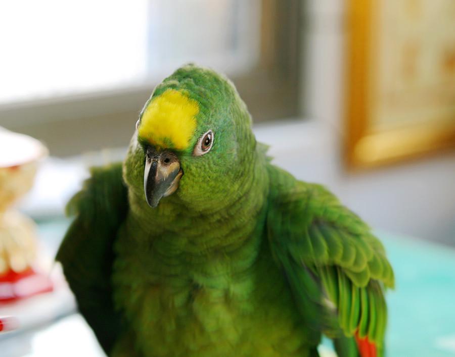 【亞馬遜·鸚鵡】亞馬遜黃帽鸚鵡 – TouPeenSeen部落格