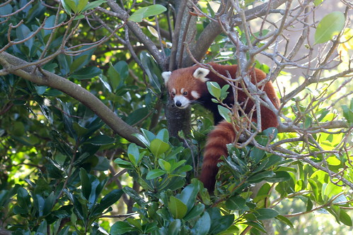 Red Panda peering from the tree