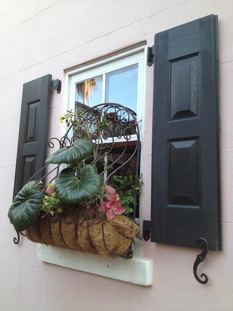 Window planter with leopard plant (Ligularia sp., Asteraceae)