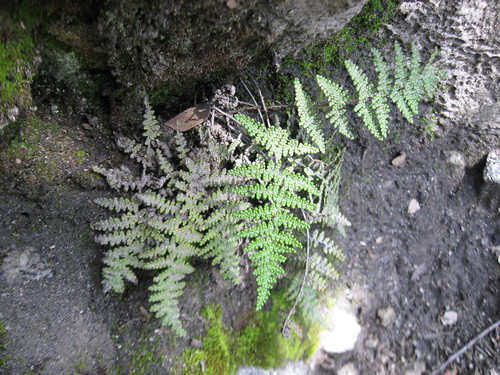 Lip fern (Cheilanthes sp.), Yosemite National Park