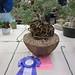 Pelargonium siddoides