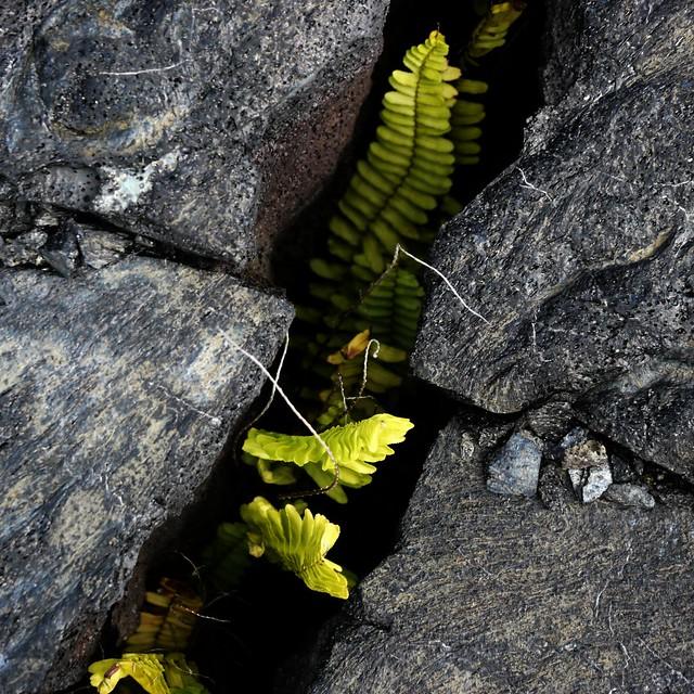 Ferns in Lava