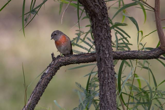Scarlet Robin female 2012-05-01 (_MG_7180)