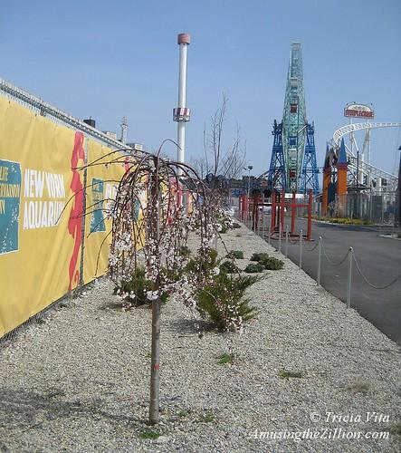 Coney Island Cherry Blossom