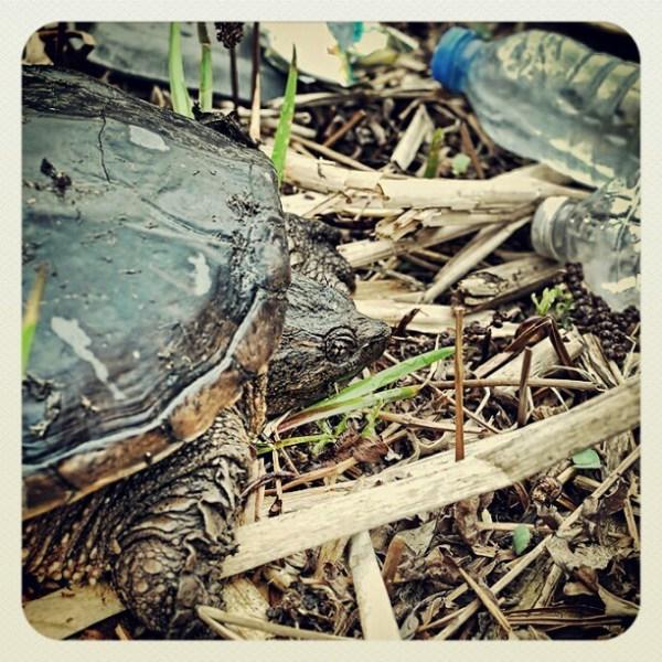 Snapping Turtle Walking through trash / Tortue serpentine se promenant dans les déchets