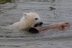 Eisbär Siku im Skandinavisk Dyrenpark in Kolind