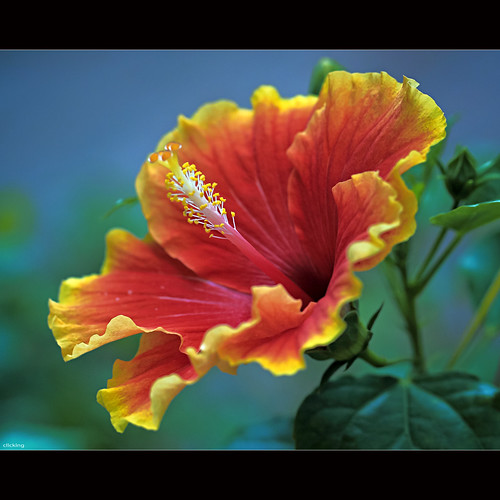 Brilliant Hibiscus