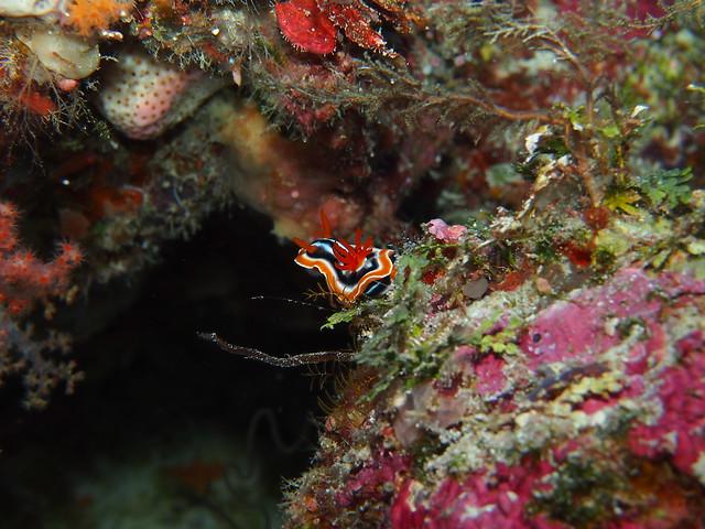 Wakatobi: Nudibranchs (3/6)