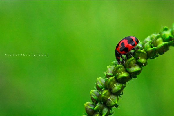 Red ladybug macro photography using reverse lens