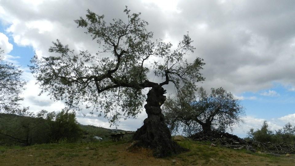Periana arbol olivo aldea Baños de Vilo Malaga 26