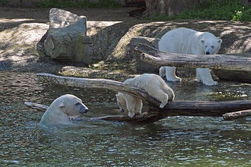 Eisbären Siku und Sesi mit einem Jungtier von Huggies im Ouwehands Dierenpark