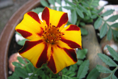 first marigold mr majestic