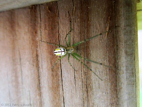 Day 137 Orchard Orbweaver by pixygiggles