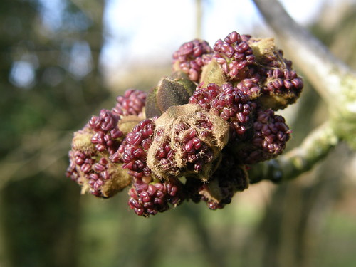 Ash flowers, bursting out.