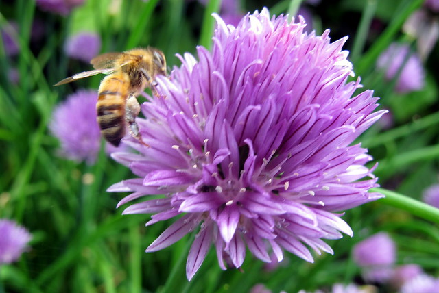 The Bee and the Chives